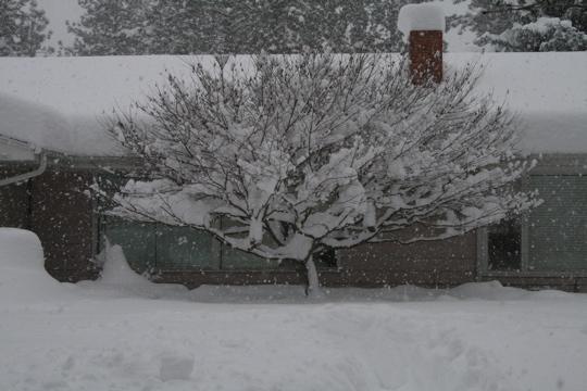 Snow maple