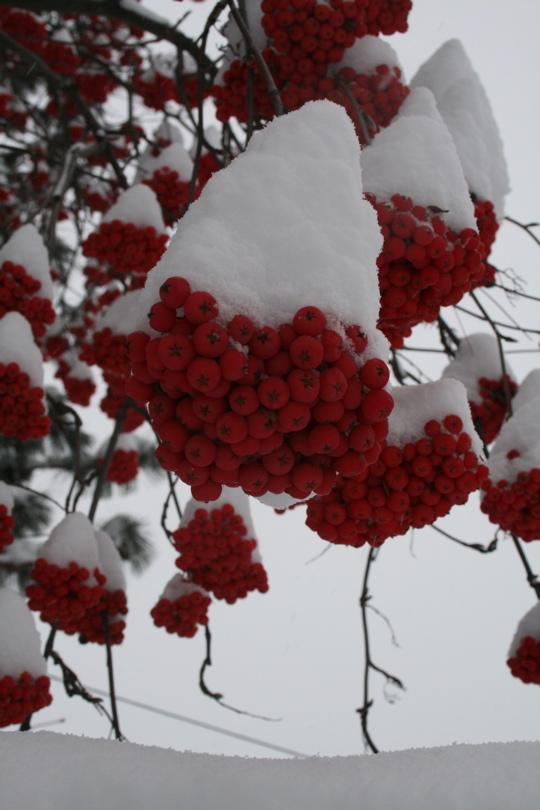 Snow berries2