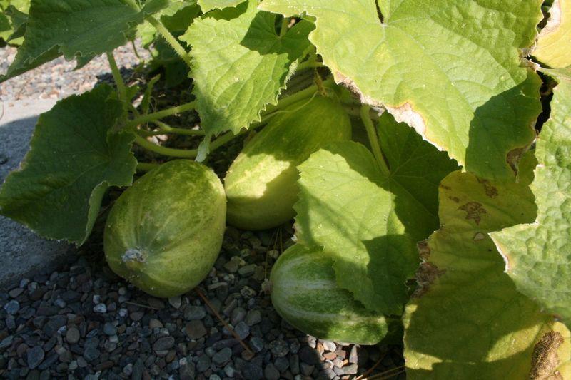 G cucumber balls