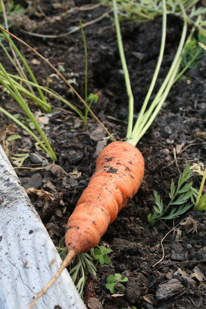 G carrot
