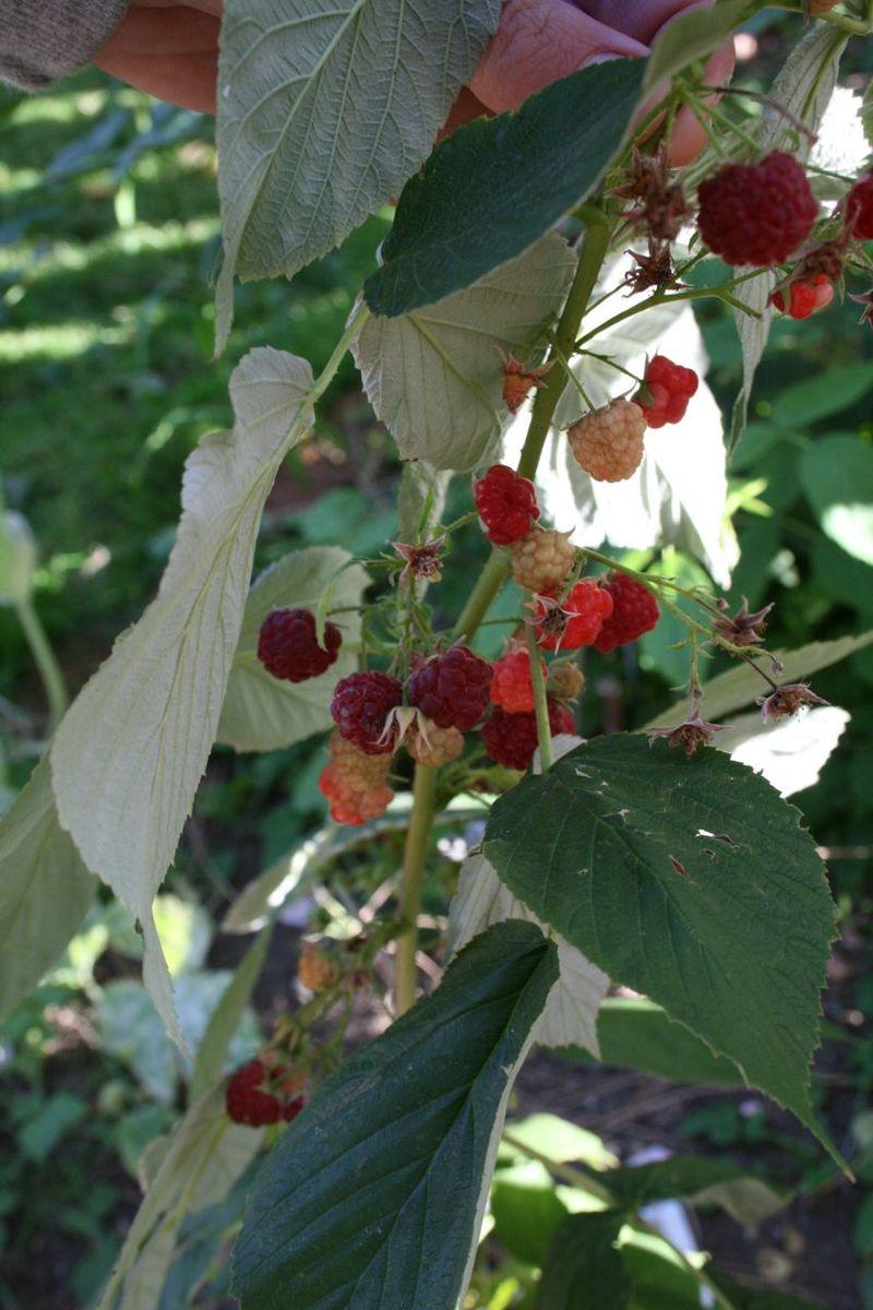 G raspberries