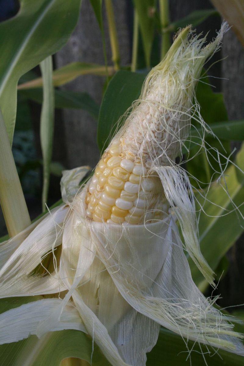 G corn