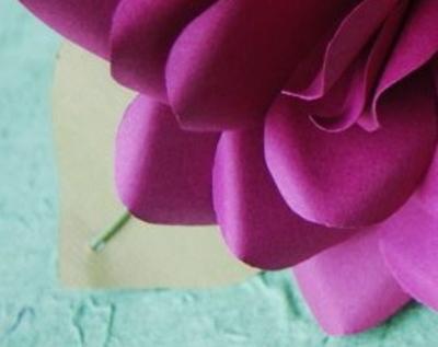 Anemone_rose_crop